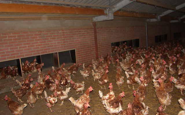 Kippen weer opgehokt